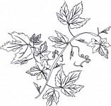 22/258/Дизайнерски печати и надписи за картички-Дървета-Печат на листа от клен