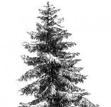 22/551/Дизайнерски печати и надписи за картички-Дървета-Ела